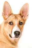 Mixed-breed dog in front of white background Royalty Free Stock Images