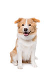 Mixed breed dog. In front of a white background royalty free stock photos