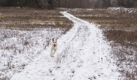 Mixed-breed dog galloping on an earth road escaping from two smaller dogs at winter season Royalty Free Stock Images