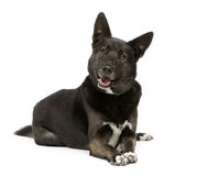 Mixed-Breed Dog german sheperd and husky (3 years) Royalty Free Stock Photo