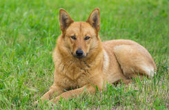Mixed breed dog having rest in the grass Royalty Free Stock Photos