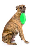 Mixed breed dog holding a frisbee. isolated on white background Royalty Free Stock Images