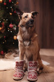 Mixed breed dog. Holiday Christmas and New Year Stock Photography