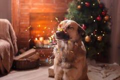 Mixed breed dog. Holiday Christmas and New Year Stock Photos