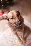 Mixed breed dog. Holiday Christmas and New Year Stock Images