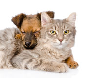 Mixed breed dog hugging cat. isolated on white background Royalty Free Stock Photography