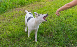 Free Mixed Breed Dog Is Trying To Bite Human Hand Royalty Free Stock Photo - 73968135