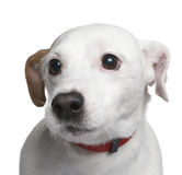 Mixed-Breed Dog with a jack russell (6 years) Royalty Free Stock Photo