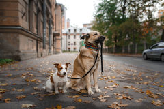 Mixed breed dog  and Jack Russell Terrier Royalty Free Stock Images