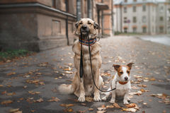Mixed breed dog  and Jack Russell Terrier Royalty Free Stock Image