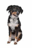 Mixed breed dog, kooiker, Frisian Pointer Stock Photography