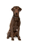 Mixed breed dog (labrador retriever) Stock Photos