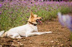Mixed breed dog laying on the ground among flowers. German shepherd and huski mixed breed funny dog relaxing outside in the park Royalty Free Stock Image