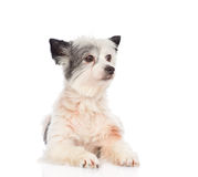 Mixed breed dog looking away. isolated on white background Stock Image