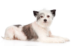 Mixed breed dog looking at camera. isolated on white background Royalty Free Stock Photos