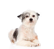 Mixed breed dog looking at camera. isolated on white background Stock Image