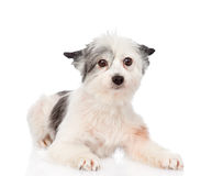 Mixed breed dog looking at camera. isolated on white background Royalty Free Stock Image