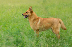 Mixed breed dog looking for some fun in the grass Royalty Free Stock Photo