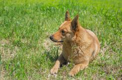 Mixed breed dog lying in the grass Royalty Free Stock Image