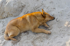 Mixed breed dog lying in the heap of sand Stock Photography