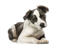 Mixed breed dog lying, 8 months old, isolated. On white Stock Photos