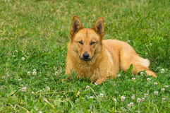 Mixed breed dog lying in summer grasses. Chestnut mixed breed dog lying in summer grasses Royalty Free Stock Image