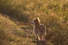 Mixed Breed Dog On Path, Sunset Stock Image