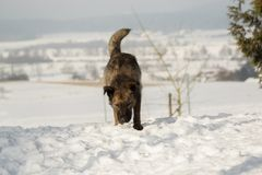 Mixed breed dog outdoors in the snow Royalty Free Stock Photography