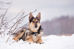 Mixed breed dog outdoors in winter Royalty Free Stock Photos