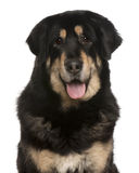 Mixed-breed dog panting Stock Photography