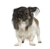 Mixed-Breed Dog with a papillon Stock Photos