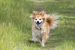 Mixed breed dog on path. Mixed breed dog running along a path in a field Royalty Free Stock Image