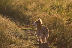 Mixed breed dog on path, sunset Stock Image