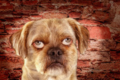 Mixed-Breed Dog with people eyes Stock Image