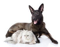 Mixed breed dog and persian cat together. Stock Photos