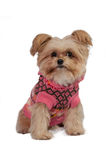 Mixed Breed Dog in Pink Dress Royalty Free Stock Images