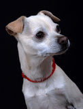 Mixed breed dog portrait. Stock Photography