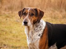 Mixed breed dog portrait. Brown and gray mixed breed dog portrait Royalty Free Stock Photography