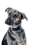Mixed breed dog portrait. Isolated on white background Stock Photography