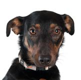 Mixed breed dog portrait Royalty Free Stock Photos