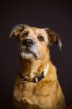 Mixed breed dog. Portrait on black background Stock Photography