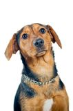 Mixed breed dog portrait Royalty Free Stock Images
