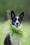 Mixed Breed Dog Portrait Outdoor Stock Images