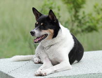Mixed breed dog. Stock Image