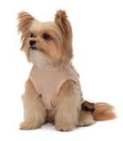 Mixed Breed Dog Posing Stock Image