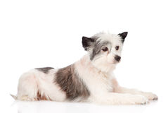 Mixed breed dog in profile. isolated on white background Royalty Free Stock Photography