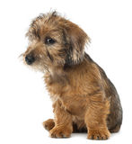 Mixed-breed dog puppy, 3 months old, sitting Stock Photos