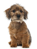 Mixed-breed dog puppy, 3 months old, sitting. And looking away against white background Stock Photo
