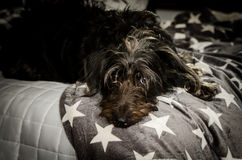 Mixed breed dog resting on bed Royalty Free Stock Images