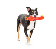 Mixed Breed Dog Running With Toy Royalty Free Stock Photography